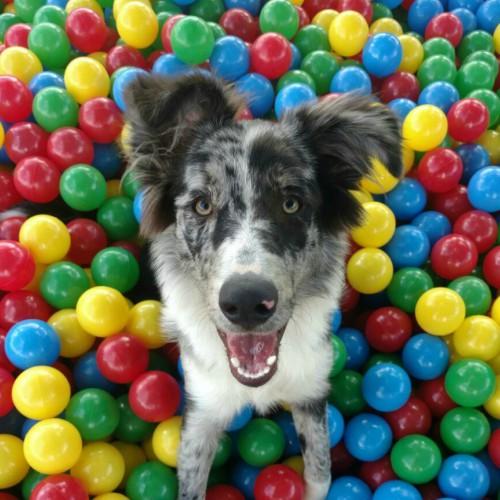 Cão na piscina de bolinhas