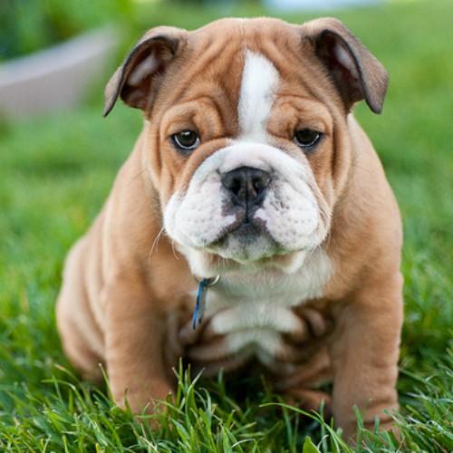 Cão buldogue filhote